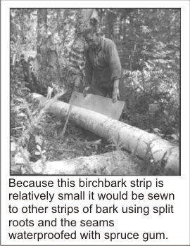 Photo of birchbark being harvested for a canoe