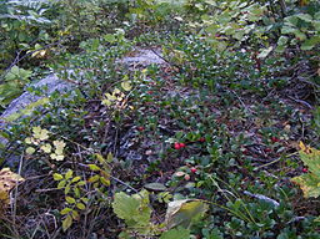 Bearberry growing over a rock.